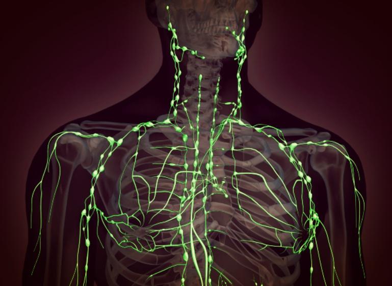 modelo 3d dos vasos linfáticos