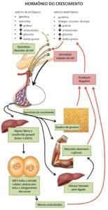 eixos do hormônio do crescimento