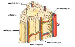 Vascularizacao Ossea 2- PortalPed