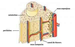 Vascularizacao Ossea - PortalPed