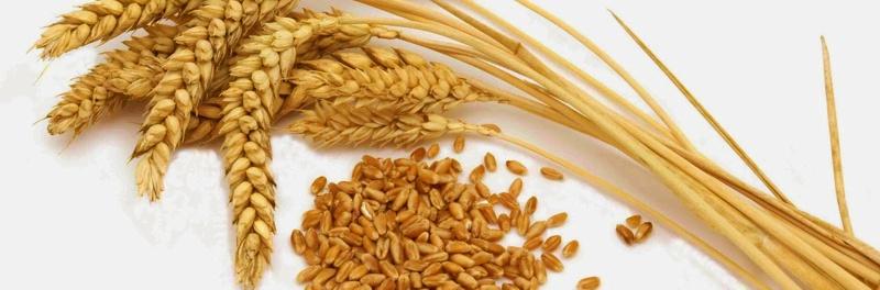 trigo e gluten