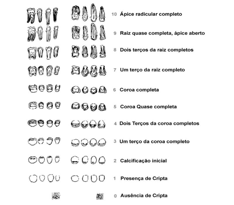 Ortodontia - Robert E. Moyers - fases do dente