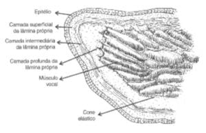 camadas das pregas vocais